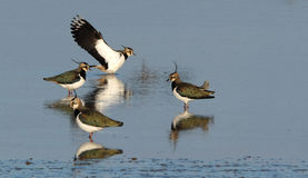 Peewit or Lapwing. Stock Photography