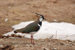 Peewit Royalty Free Stock Images