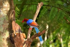 Pega azul de Sri Lanka na selva de Sinharaja imagem de stock