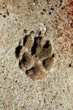 Pegada do cão no cimento Fotos de Stock Royalty Free