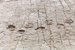Pegada real do dinossauro imprimida na rocha Parque de Nacional no sucre, Bolívia imagens de stock