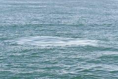 A pegada saiu pelo solha de uma baleia de esperma do mergulho, Nova Zelândia Imagens de Stock