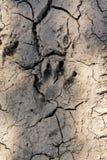 Pegadas animais na lama Foto de Stock