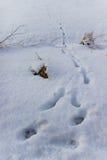 Pegadas animais na neve Fotografia de Stock
