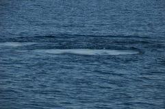 Pegadas da baleia na baía do geographe foto de stock