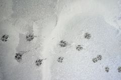 Pegadas do cão na textura molhada do assoalho do cimento foto de stock royalty free