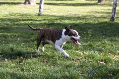 Pegar hacia fuera el perro de la lengua que camina en parque foto de archivo