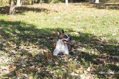 Pegar hacia fuera el perro de la lengua que miente en hierba Foto de archivo libre de regalías