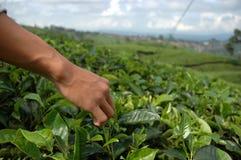 Pegarando o chá verde foto de stock royalty free