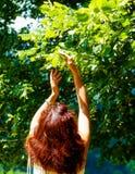 Pegarando os fowers bonitos da árvore de Linden no dia de verão brilhante Imagem de Stock