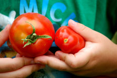 Pegare tomates Imagem de Stock Royalty Free