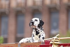 The Pegasus Parade 2018. Louisville, Kentucky, USA - May 03, 2018: The Pegasus Parade, Horses pulling a wagon, driven by a man, with a dalmata dog riding on top stock images