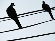 Pegeonen som ser en annan fågel Arkivbilder