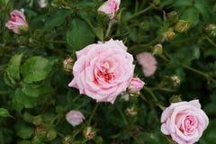 Peggy Rockefeller ogródu różanego część 2 24 Fotografia Stock