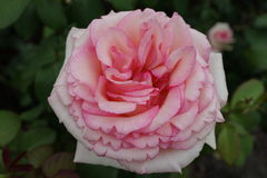 Peggy Rockefeller Rose Garden Part 2 6 Stockfoto