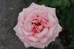 Peggy Rockefeller Rose Garden Part 2 18 Lizenzfreies Stockbild