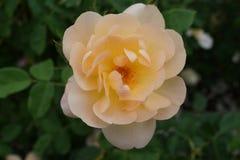 Peggy Rockefeller Rose Garden Part 2 19 Lizenzfreie Stockfotografie