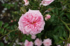 Peggy Rockefeller Rose Garden Part 2 25 Stockbilder