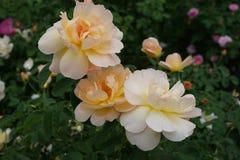 Peggy Rockefeller Rose Garden Part 2 27 Lizenzfreie Stockfotografie