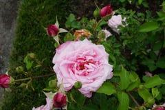 Peggy Rockefeller Rose Garden Part 2 29 Lizenzfreies Stockfoto
