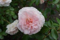 Peggy Rockefeller Rose Garden Part 2 33 Lizenzfreie Stockbilder