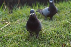 Pegion anseende på gräset fotografering för bildbyråer