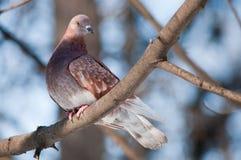 Pegion de Brown em um ramo de árvore Imagem de Stock Royalty Free
