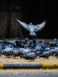 Pegion. Pigeons and doves constitute the animal family Columbidae and the order Columbiformes, which includes about 42 genera and 310 species. The related word stock images