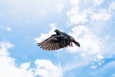 Pegions-Vogelfliegen auf Himmel Stockbild