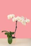 Pegue la rama romántica del color de la orquídea blanca en fondo beige Imágenes de archivo libres de regalías