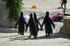 Peguin Waddle. Four Jackass penguins walk together towards Boulders beach near Simonstown Stock Photos