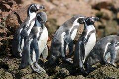 Peguins在Paracus秘鲁 图库摄影