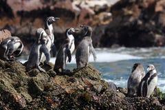 Peguins in Paracus Peru Stock Foto