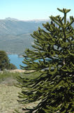 Pehuen. Araucaria araucana (Pehuen or Monkey-puzzle), and old growth evergreen found in Argentina and Chile Stock Photography