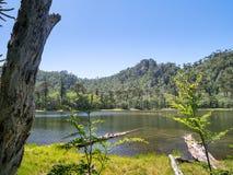 Pehuen-Bäume nahe Pucon Lizenzfreies Stockfoto