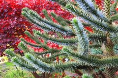Pehuen, Monkey-puzzle plant. As very nice natural background Royalty Free Stock Image