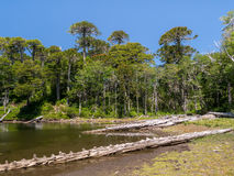 Pehuen träd nära Pucon Royaltyfri Foto