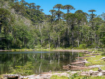 Pehuen träd nära Pucon Royaltyfria Bilder