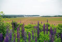PEI Farm som planteras precis royaltyfria foton