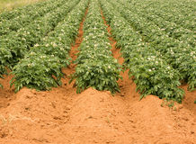 PEI potatoe field Stock Images