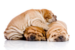 pei shar τρία σκυλιών μωρών Στοκ φωτογραφία με δικαίωμα ελεύθερης χρήσης