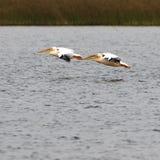 Peicans-Paare, die über den See fliegen Stockbilder