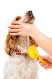 Peignée de l'épagneul de Russe de race de chien Image stock