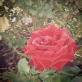 Peignant les roses rouges ! Image stock