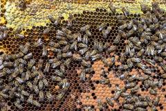 Peigne de miel et un fonctionnement d'abeille Images libres de droits