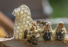 Peignes de reine d'abeille - mellifera d'api Images stock