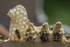 Peignes de reine d'abeille - mellifera d'api Photos stock