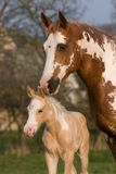 Peignez la jument de cheval avec le poulain Image stock
