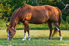 Peignez le cheval Image libre de droits
