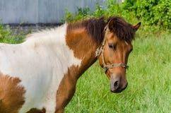 Peignez le cheval dans le pâturage Photographie stock